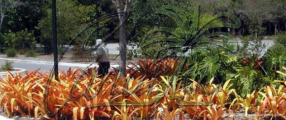This large bromeliad is often used outdoors in full sun.
