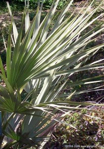 New, Nannorrhops palms in 20 cm pots with large sized leaves
