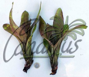 Pups of Neoregelia burlemarxii, ready for shipping. They can bloom in one year.