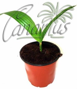 Young pritchardia palm in 12 cm pot, ready for shipping.