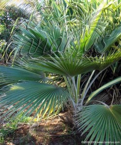 Young Pritchardia minor in the Palmetum of Santa Cruz