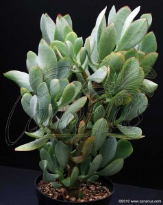Crassula cv blue