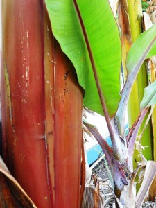 Red stem of a dwarf red banana in Tenerife