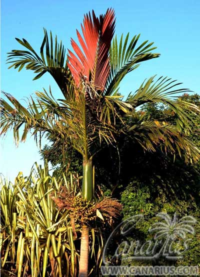 chambeyronia-macrocarpa-red-leaf-palm