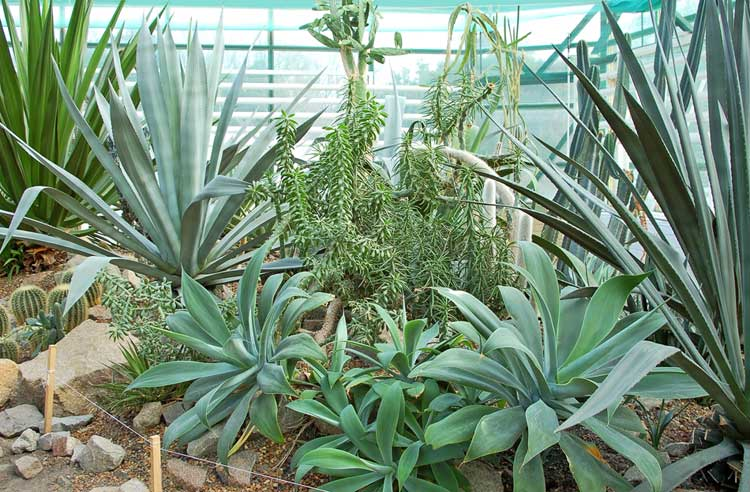 New-succulent-plants-on-Canarius