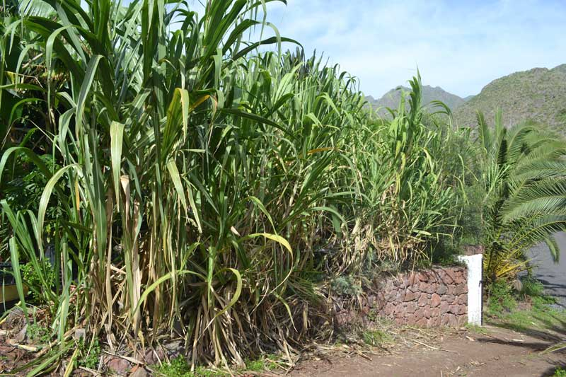 growing sugar cane at home