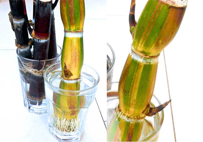 how-to-root-sugarcane-cuttings