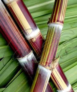 saccharum-officinarum-ceniza-bengala-striped-sugarcane