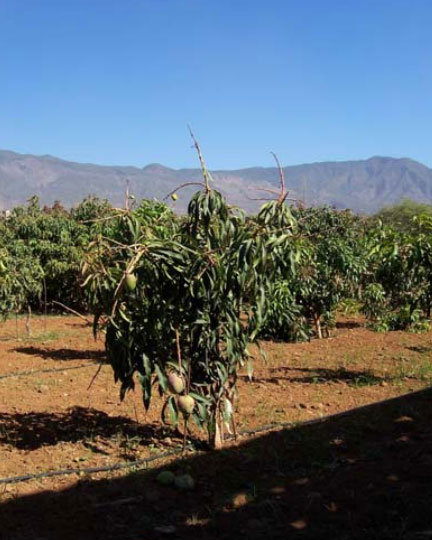 mango-trees-orchard