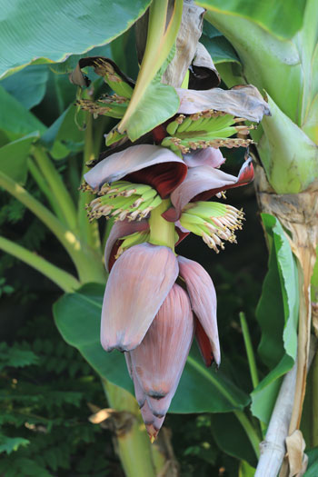 banana-or-plantain-tree