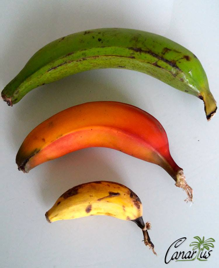 Three bananas grown in Tenerife: Dwarf Curare Plantain, Dwarf Red and Manzano.