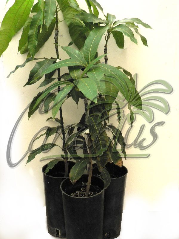 These are the mango plants that we ship to your home