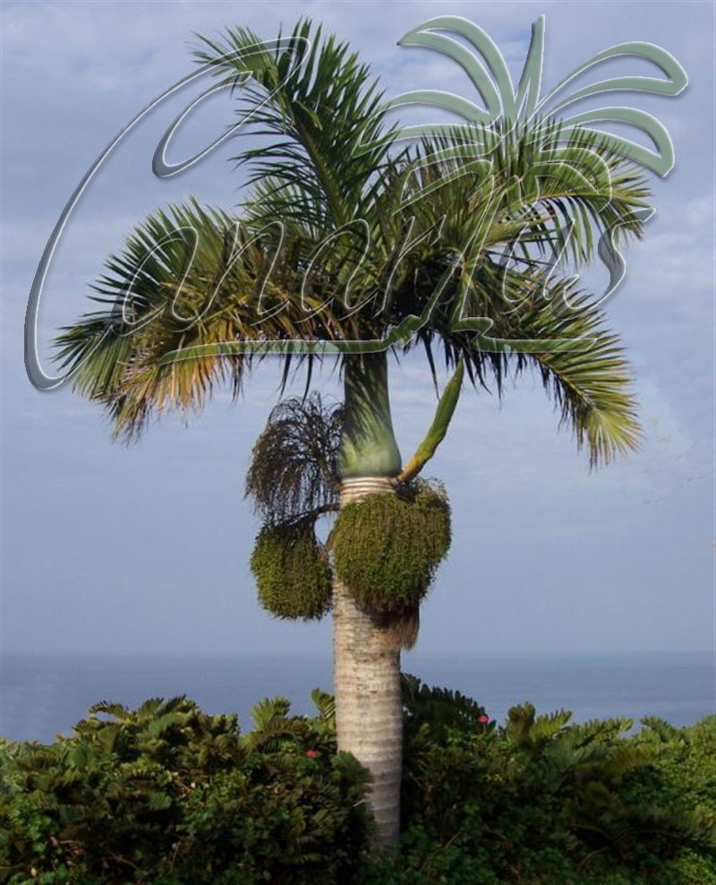 Spindle palm in Tenerife