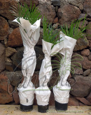 Wrapped cycads