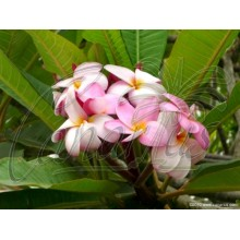 Plumeria Rubra Pink