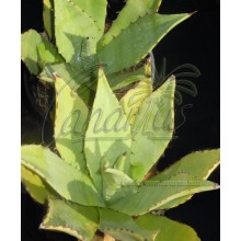 Agave albescens