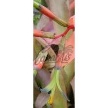 Billbergia elegans