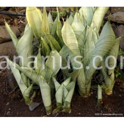 Sansevieria trifasciata cv Moonshine