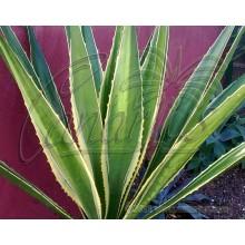 Furcraea selloa marginata