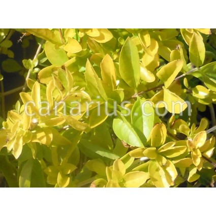 Duranta erecta 'Sheena's Gold'