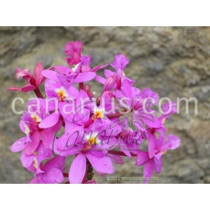 Epidendrum ibaguense Lila - Pink