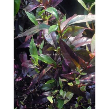 Pseuderanthemum laxiflorum variegatum