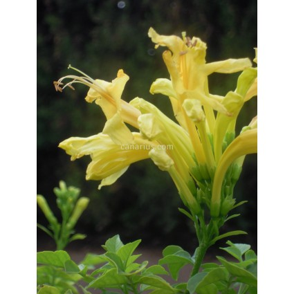 Tecoma capensis 'Lutea'