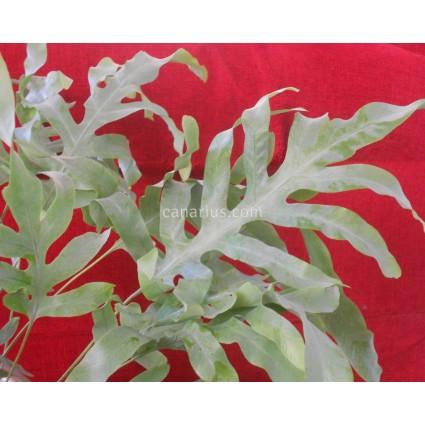 Phlebodium aureum 'Mandaianum'