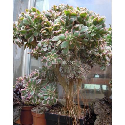 Aeonium decorum f. cristata variegata
