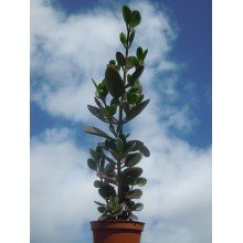 Kalanchoe bracteata ssp. glabra