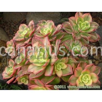 Aeonium decorum tricolor cv. Kiwi