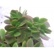 Crassula x Pretoria Hybrid