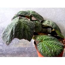 Begonia x Art Hodes