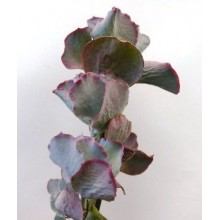 Cotyledon orbiculata cv. Rose