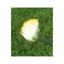 Haemanthus albiflos - White Paintbrush