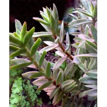 Crassula pubescens ssp. rattrayi