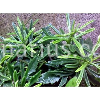 Kalanchoe x Kewensis