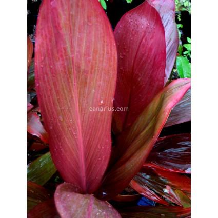 Cordyline fruticosa 'Wild Flame'