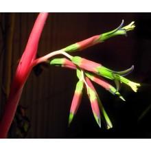 Billbergia sp. Suculenta