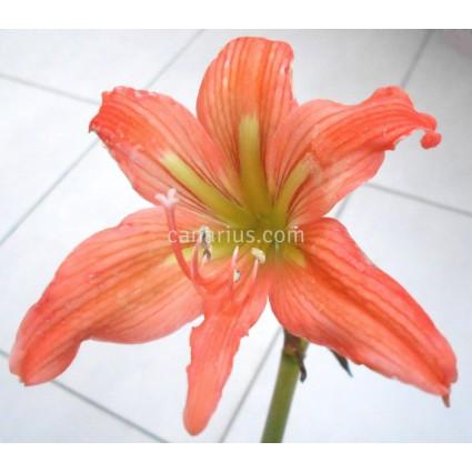 Hippeastrum blossfeldiae