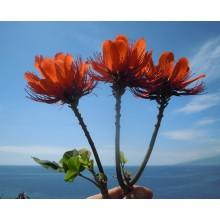 Erythrina variegata 'orientalis'