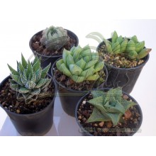 Haworthia mix of 5 different species