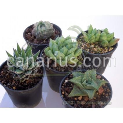Haworthia mix of 5 different species