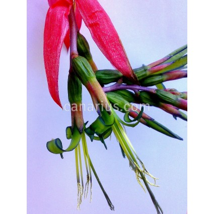 Billbergia x Windii