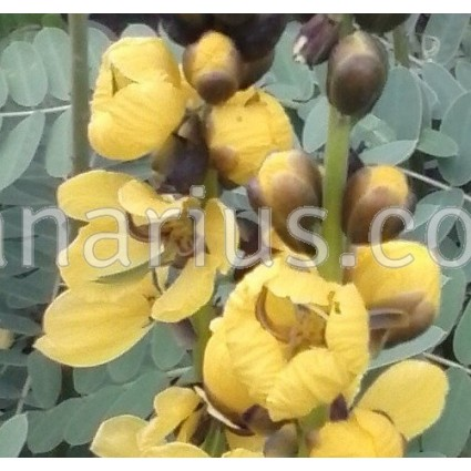 Cassia didymobotrya