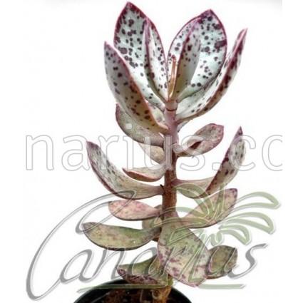 Adromischus triflorus
