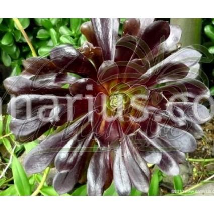 Aeonium arboreum cv. Zwartkop