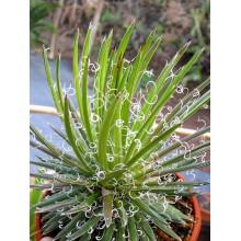 Agave filifera  'Leopoldii'