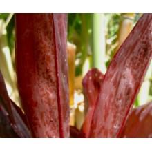 Cordyline fruticosa 'Lyon's Black'