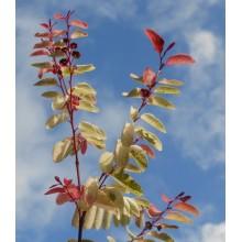 Breynia disticha  'Roseo-picta'